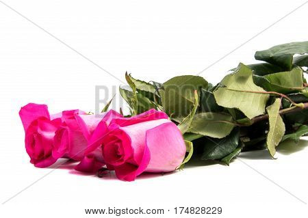Pink rose flower head . Petals Borderisolated on white background cutout