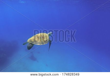 Tortoise swimming in oceanic water. Green turtle in wild nature. Sea tortoise diving in blue seawater. Oceanic animal photo for card or banner. Snorkeling with tortoise. Tropical seashore ecosystem