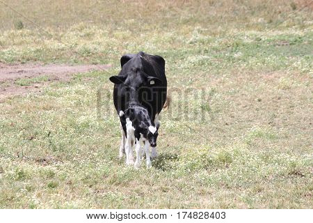 Cow and calf (Holstein) in a green field of grass in early summer