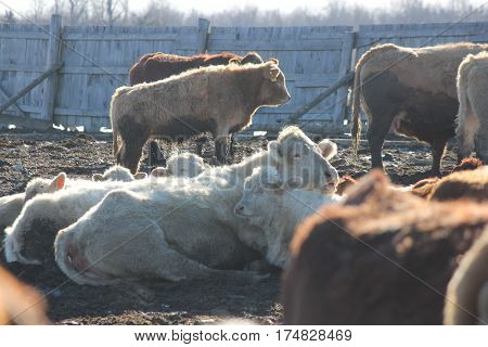 cows standing and a white cows down in a muddy area of a holding/transfer pen.