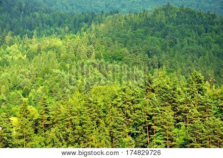 Natural spacious conifer nature forest in central Europe
