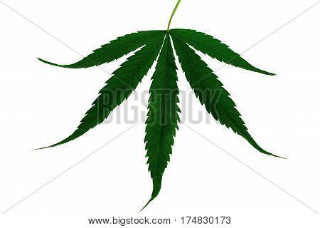 Natural marijuana hemp leaf isolated on white background