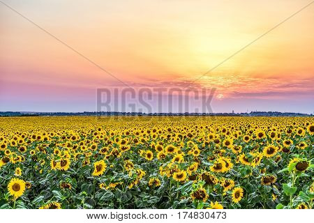 Colorful sunset over a rural plain with blossoming field of sunflowers. Sun rays over the low clouds. Evening rural landscape with beautiful natural light.