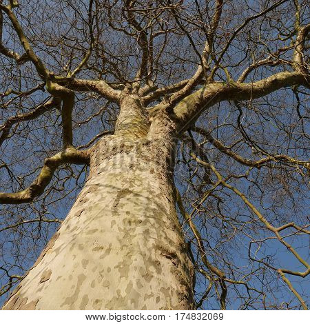 Looking up at a large london plane tree (platanus acerifolia) with blue sky in background