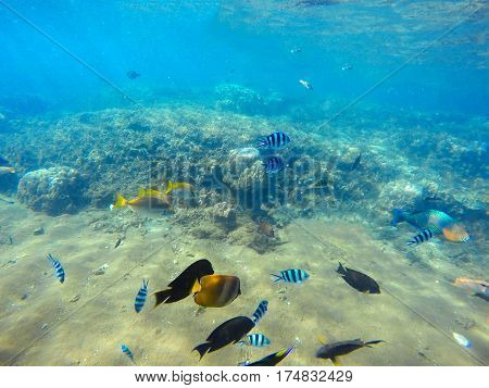 Coral reef scene with colorful tropical fishes. Blue sea water with sunlight rays. Snorkeling photo of sea bottom with corals and sea plants. Oceanic life ecosystem. Butterflyfish and surgeonfish