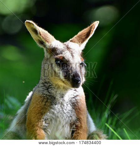 Australian Yellow footed Rock Wallaby against dark green background