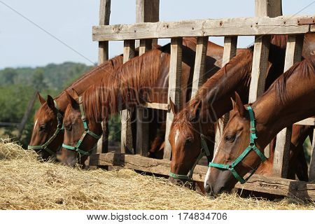 Group of purebred horses eating hay on rural animal farm. Herd of horses chewing fresh hay on ranch summertime