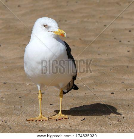 alone on the beach,big seagull lookin into camera