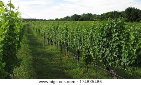 Summer Green Winery Growing Grapes in Long Island New York