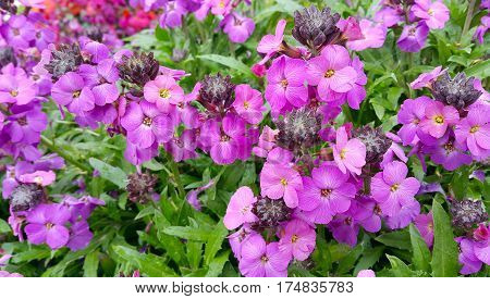 Beautiful lilac flowers close up nature background