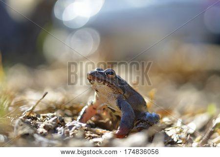 Moor frog in spring (Rana arvalis) .