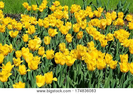 Beautiful bright yellow tulips close-up natural background
