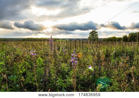 Lupine purple flowers in the green field on background of sunset and cloudy sky.