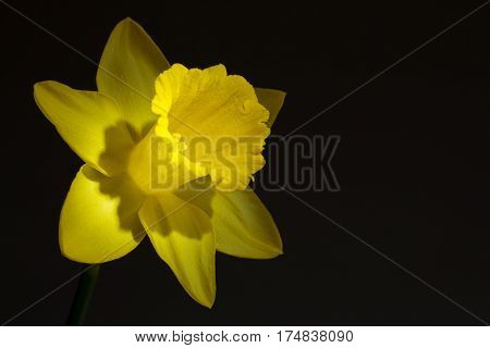 Close up image of yellow daffodil with directional lighting