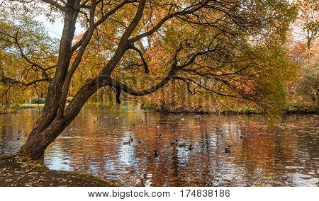 Ducks swimming in the pond in the autumn park under hanging tree. Catherinehof, Ekaterinhof park in Saint-Petersburg.