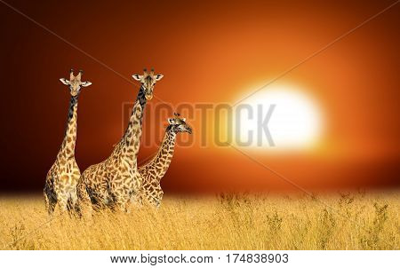 Three Giraffes On A Background Sunset In National Park Of Kenya