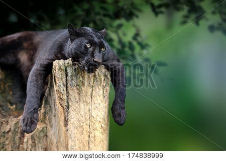 Black Leopard On Nature Background