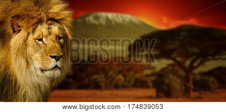 Lion Portrait On Mount Kilimanjaro At Sunset