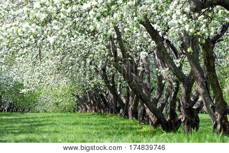 Blooming apple trees in spring. Garden with blossoming apple trees