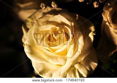 White rose in warm soft lamp light. Romantic macro photo.