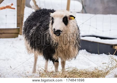 sheep eating in with snow in the background