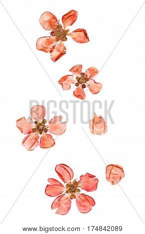 Pressed And Dried Flowers Quince Blossom