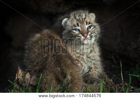 Bobcat Kitten (Lynx rufus) Gets Crawled Over by Sibling - captive animals