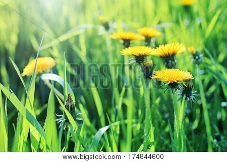 Blooming yellow dandelion flowers (Taraxacum officinale) in the meadow in April on blurred background close up view. Spring summer floral background. Medical herb or food ingredient.