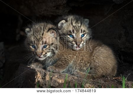 Bobcat Kitten (Lynx rufus) Head Over Sibling - captive animals