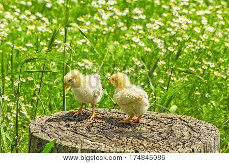 Two chickens on a stump on a background of green meadow with camomiles in a sunny summer day