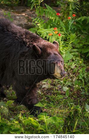 Adult Female Black Bear (Ursus americanus) Walks Past - captive animal