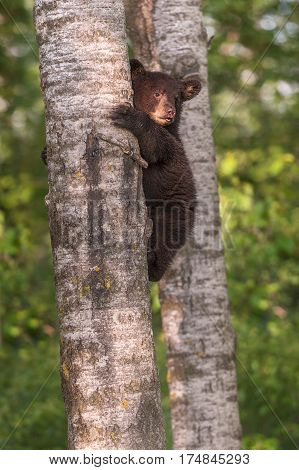 Black Bear (Ursus americanus) Cub Looks Up From Side of Tree Trunk - captive animal