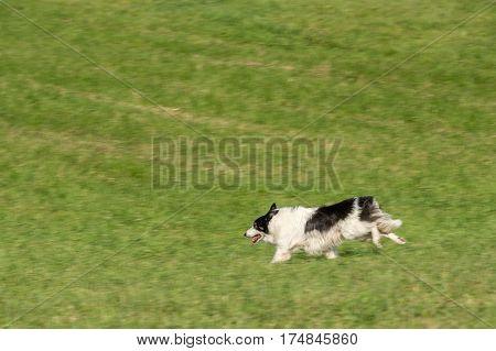 Sheep Dog Runs Left Through Field - at herding trial