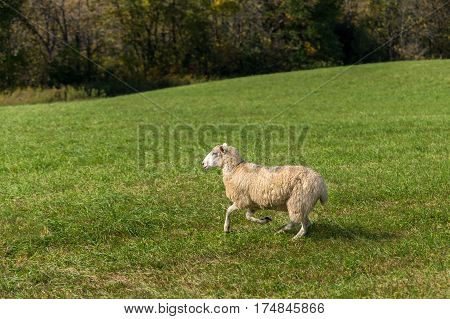 Sheep (Ovis aries) Runs To Left - at herding trial