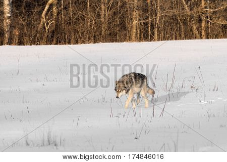 Grey Wolf (Canis lupus) Walks Through Snowy Field - captive animal