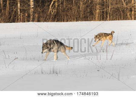 Pair of Grey Wolves (Canis lupus) Run Across Snowy Field - captive animals