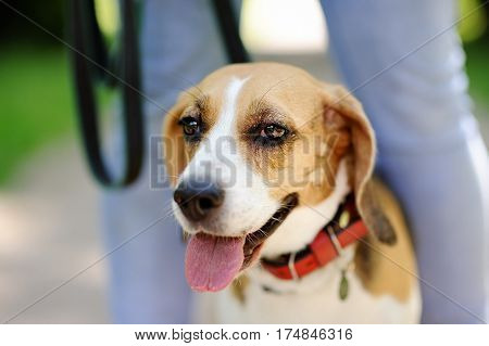 Close Up Photo Of Beagle Dog In The Summer Park