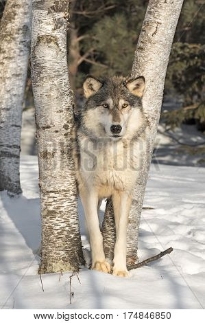 Grey Wolf (Canis lupus) Looks Out from Between Trees - captive animal