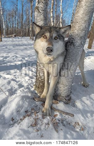 Grey Wolf (Canis lupus) Stands Between Trees Ears to Sides - captive animal