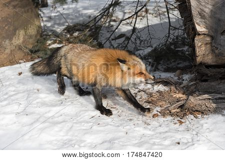Amber Phase Red Fox (Vulpes vulpes) Moves Right - captive animal