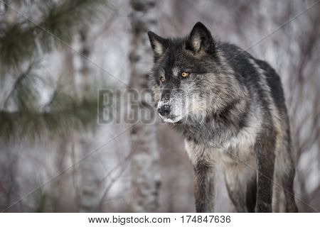 Black Phase Grey Wolf (Canis lupus) Peers Out Intently - captive animal