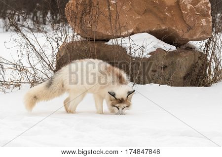 Red Marble Fox (Vulpes vulpes) Sniffs in Snow - captive animal
