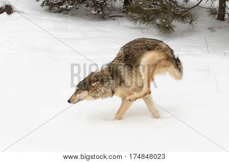 Grey Wolf (Canis lupus) Runs Left Back Legs Up - captive animal