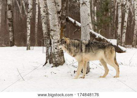 Grey Wolf (Canis lupus) Stands in Birches Looking Left - captive animal