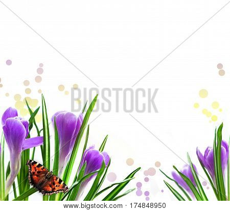 Violet Crocus Spring Flowers with butterfly. Light Background