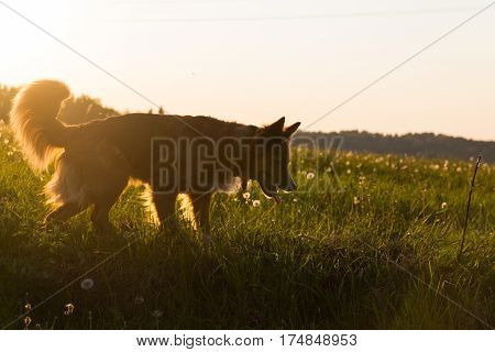 The dog in the light of the setting sun