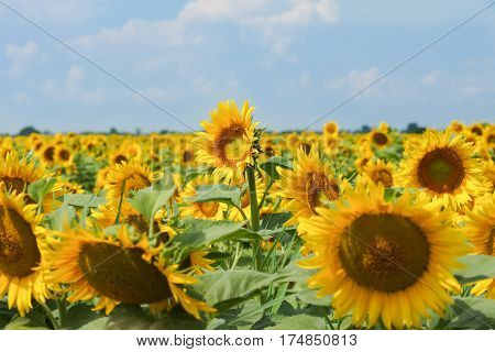 Towering over other tall sunflower - Helianthus annuus or Sunflower oil (lat. Helianthus annuus) with blue sky background