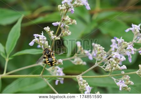 Bee-sherstova (lat. Anthidium manicatum) is a species of hymenopteran insects of the family megachile (Megachilidae) collecting nectar on a flower