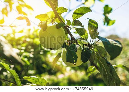 green apple on a tree with green blurred background. ripe apple on a tree
