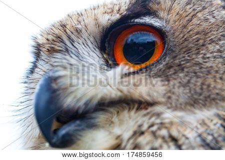 Close up photo of a Horned Owl or Eagle owl (Buto buto) (bubo)